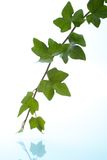 Ivy twig. Elegant green ivy twig over white background with reflection in water Stock Images