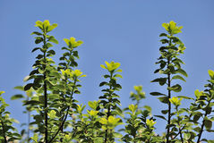 Ivy twig and blue sky Stock Photos