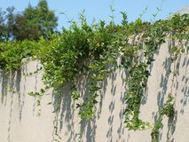 Ivy On un mur de stuc Photos libres de droits