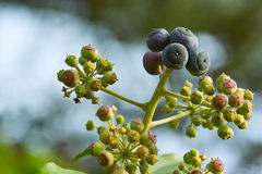 Ivy with unripe and ripe fruits. Close up of hedera helix flower with young and ripe fruits Stock Images