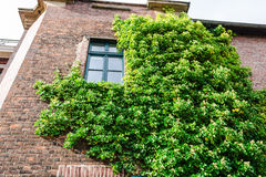 Ivy vegetation on a house wall. royalty free stock images