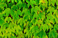 Ivy Vine Stock Photography