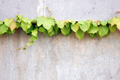 ivy vine Stock Photo