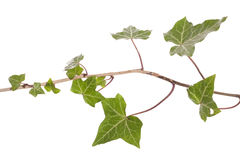 Ivy vine Stock Images