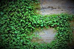 Ivy Vine de rampement photos stock