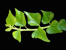 Ivy vine and leaves. Green ivy vine and leaves isolated against a black background Royalty Free Stock Photography