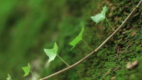Ivy vine on the mossy boulder 1 stock footage