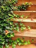 Ivy vine on steps Stock Images