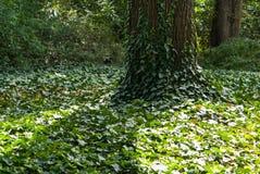 Ivy vine on tree trunk Stock Image