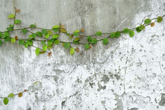 Ivy vine on wall Stock Photo