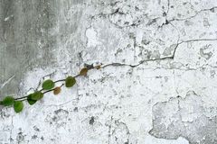 Ivy vine on wall Royalty Free Stock Photo