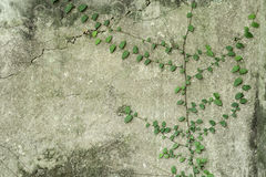 Ivy vine on wall Stock Image