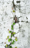 Ivy vine on wall Stock Photography