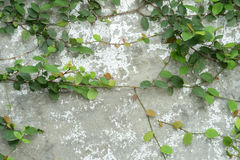 Ivy vine on wall Royalty Free Stock Photos