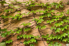 Ivy vine on wall Royalty Free Stock Image
