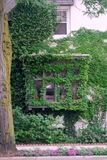 Ivy vine windows and wall. Ivy vines covering exterior of a building window and wall Stock Images