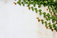 Ivy vines on the wall. Ivy vines on white cement wall Stock Photo