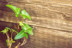 Ivy. Vintage toned picture of the ivy at the old wooden background Stock Photography