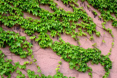 Ivy on the wall. In garden Stock Photos