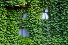 Ivy wall Stock Images