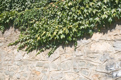 Ivy on a wall Stock Image