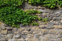 Ivy at a wall Royalty Free Stock Photo