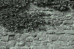 Ivy at a wall Royalty Free Stock Photography