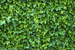 Ivy wall. Ivy with dew drops growing on a wall. Usable for textures or background Stock Images