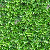 Ivy on Wall. Seamless Texture Tile from Photographic Original Stock Photos