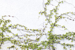 An ivy and a wall Royalty Free Stock Images