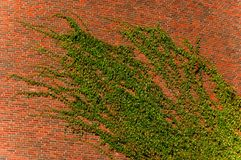 Ivy on a wall. Green ivy growing on a brick wall Royalty Free Stock Images