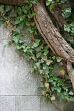 Ivy on Wall. English ivy (hedra helix) growing on a stone wall Stock Photos