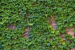 Ivy Wall foto de stock royalty free