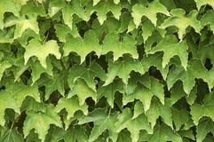 Ivy Wall. Stock Foto