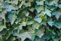 Ivy Wall Royalty Free Stock Images
