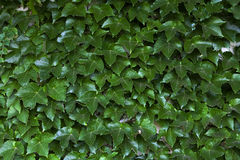 Ivy Wall Stockfoto
