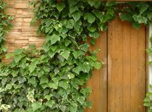 Ivy Wall. Ivy-covered house wall with wood and stone Stock Photography