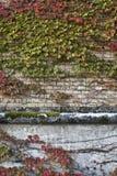 Ivy Wall Royaltyfria Bilder