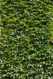 Ivy wall. Old wall covered with ivy Royalty Free Stock Images