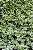 Ivy Wall Stockbild