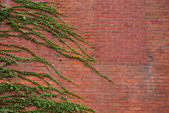 Ivy wall. Old brick building with ivy growing over it Stock Photography