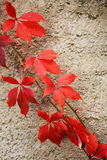 Ivy on the wall. Leaves of red climbing up the wall Stock Photos