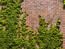 Ivy Wall. Ivy on a Brick Wall Outdoors Stock Image