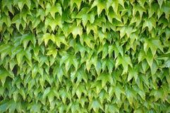 Ivy Wall Imagens de Stock Royalty Free