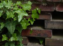 Ivy and Wall. Ivy and brick wall Royalty Free Stock Photo