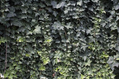 Ivy Wall stock foto's