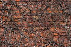 Ivy Wall Stockfotos