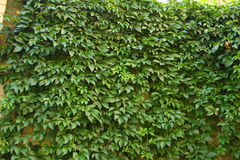 Ivy on wall Royalty Free Stock Image