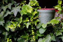 Ivy Wall Royalty-vrije Stock Afbeelding