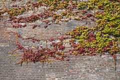 Ivy on the wall - autumn Royalty Free Stock Image